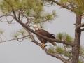 clark-sound-eagle